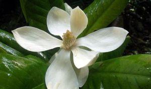 magnolia vallartensis
