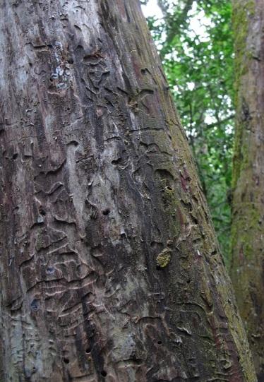 Arte natural: dibujos que dejan los insectos sobre el árbol